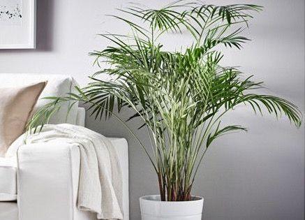 OK-Chrysalidocarpus-lutescens