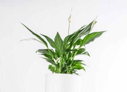 OK-Spathiphyllum
